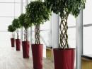 Фикус — популярное офисное растение